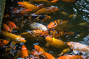 """Ornamental Koi (nishikigoi, """"brocaded carp"""") were selectively bred from domesticated common carp (Cyprinus carpio) in Japan starting in the 1820s. If allowed to breed freely, the koi subspecies will revert to original carp coloration within a few generations. Native to Central Europe and Asia, carp were first bred for color mutations in China more than a thousand years ago, where selective breeding of the Prussian carp (Carassius gibelio) eventually developed goldfish (Carassius auratus), which is a species distinct from common carp and koi. The koi were photographed at peaceful Byodo-In Temple in Valley of the Temples Memorial Park, at 47-200 Kahekili Highway, Kaneohe, on the island of Oahu, Hawaii, USA."""