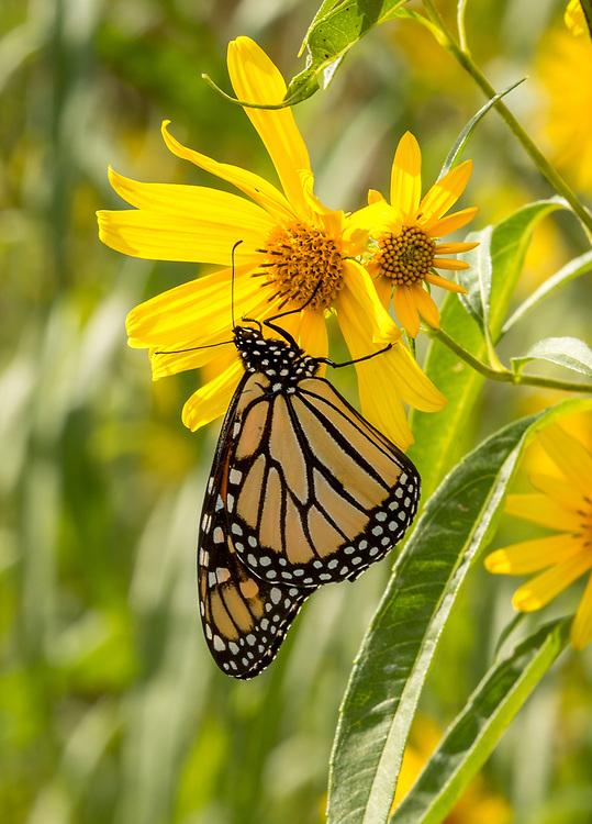 Monarch Butterfly on ox-eye sunflower, Curtis Prairie, UW-Madison Arboretum. Photo taken September 7, 2019.