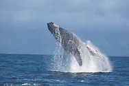 Humpback Whale breaching, Megaptera novaeangliae. Maui Hawaii