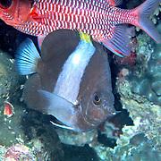 Black Pyramid Butterflyfish inhabit reefs. Picture taken Maldives.