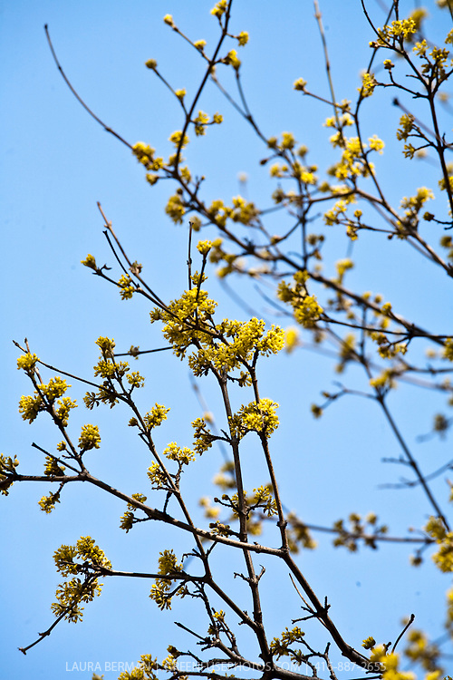 Yellow flowers of Cornelian Cherry in early spring (Cornus mas).