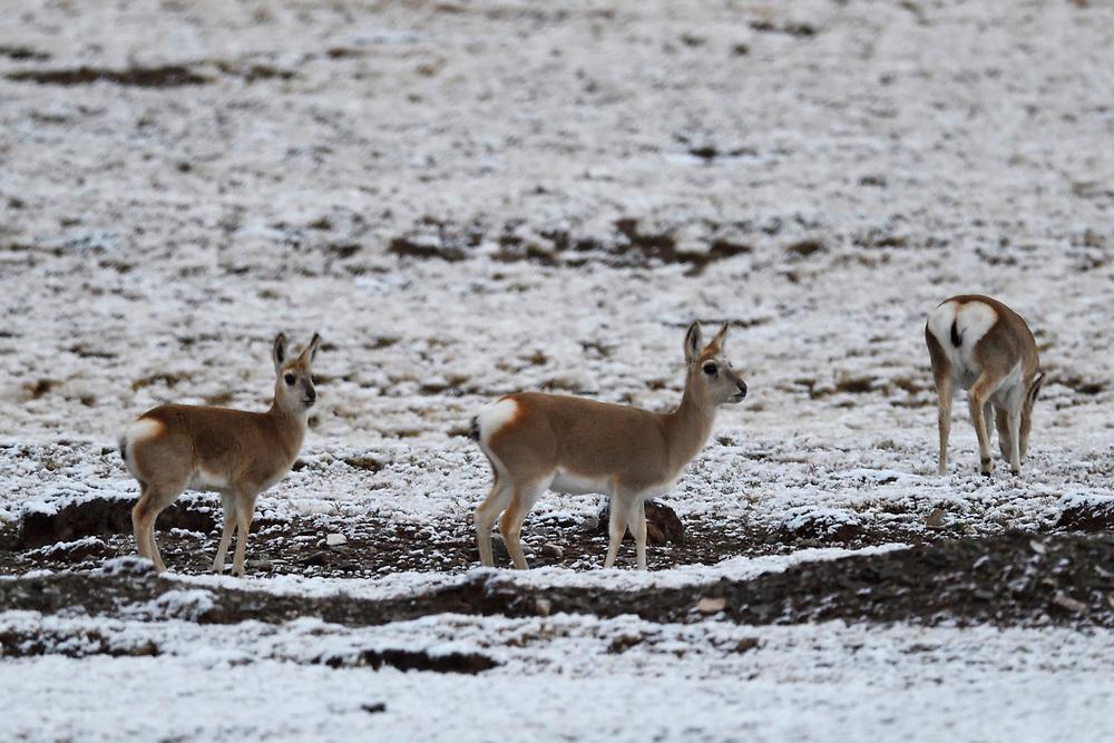 Tibetan gazelles or Goa (Procapra picticaudata) standing at Keke Xili, Changtang, Tibetan Plateau, Qinghai, China