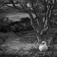 Nazca Booby nesting at the Galapagos Islands