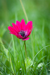 Anemone pavonia growing in grass