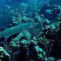 Great Barracuda, Sphyraena barracuda, (Edwards in Catesby, 1771), Grand Cayman