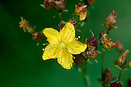 WAVY ST JOHN'S-WORT Hypericum undulatum (Clusiaceae) Height to 1m. Similar to Square-stalked St John's-wort, having winged, square stems, but note the wavy margins to the leaves. Favours boggy ground. FLOWERS are 2cm across and yellow above, tinged red below; sepals are broad and spotted (Aug-Sep). FRUITS are dry capsules. LEAVES are wavy-edged and tinged red. STATUS-SW England and SW Wales only.
