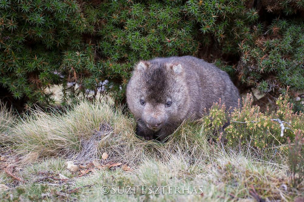 Common Wombat <br /> Vombatus ursinus<br /> Cradle Mountain National Park, Tasmania, Australia