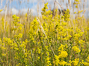 Lady's bedstraw, Galium verum, yellow flowers in summer growing at Sutton, Suffolk, England, UK