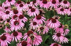 Echinacea purpurea 'Forncett Parasol' - coneflower. ( New introduction from Four Seasons )
