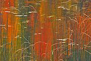 Reeds on Bunny Lake<br />Near Sioux Narrows<br />Ontario<br />Canada