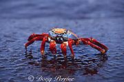 Sally Lightfoot crab, Grapsus grapsus, Galapagos Islands, Ecuador ( tropical Eastern Pacific Ocean )