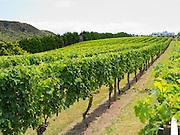 Grapes growing in the Wild on Waiheke vineyard on Waiheke Island, New Zealand