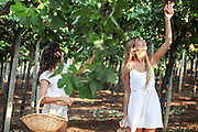 Young Teen girl in white dress picks grape in a vineyard