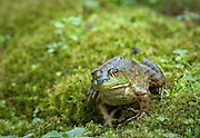 Appreciating frogs. Having a small garden pond in my yard, many different frogs come and go during the summer to live in the pond.