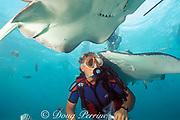 diver and southern stingrays, <br /> Dasyatis americana, at Stingray City,<br /> Grand Cayman Island ( Caribbean Sea )   MR 160