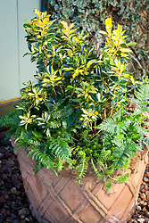 Winter pot combination of Euonymus japonicus Exstase syn. 'Goldbolwi', Dryopteris erythrosora and Sedum rupestre 'Angelina'