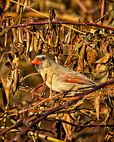 Female Northern Red Cardinal in the afternoon sun. Backyard winter nature in New Jersey. Image taken with a Nikon D2xs camera and 80-400 mm VR lens (ISO 200, 400 mm, f/5.6, 1/500 sec).