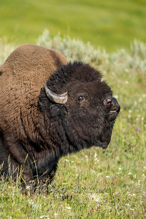 Bull bison during the rut in Yellowstone