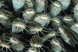 Plotosus lineatus, Schwarm von Gestreifter Korallenwels, school of striped eel catfish, Secret Bay, Gilimanuk, Bali, Indonesien, Indopazifik, Indonesia, Asien, Indo-Pacific Ocean, Asia