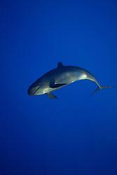 false killer whale, Pseudorca crassidens, off Kohala Coast, Big Island, Hawaii, USA, Pacific Ocean