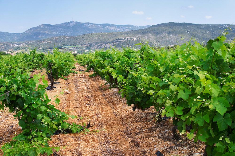 Domaine l'Aigueliere. Montpeyroux. Languedoc. Syrah grape vine variety. Soil argilo-calcaire, clay and calcareous limestone. France. Europe. Vineyard. Soil with stones rocks. Clay. Calcareous limestone.