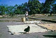 Drying sweet corn maize in farmyard, Fazenda Sant' Anna, Campinas, Brazil, South America 1962