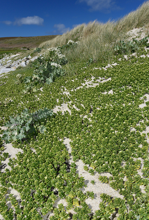 Sea Sandwort - Honckenya peploides