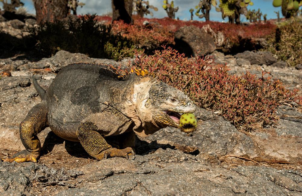 Land Iguana eating opuntia cactus fruit<br /> Conolophus subcristatus<br /> South Plaza Island<br /> Galapagos Islands, ECUADOR.  South America