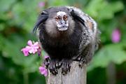 Apenheul is een gespecialiseerde dierentuin aan de rand van de Nederlandse stad Apeldoorn. De tuin ligt midden in het natuurpark Berg & Bos (200 ha). In Apenheul leven apen uit Afrika, Zuid-Amerika en Azië. De dieren leven er heel vrij: gaas of tralies ziet men er bijna niet. Sommige soorten lopen zomaar tussen de bezoekers rond. <br /> <br /> Op de foto: