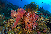 Red soft coral (Dendronephthya sp) with crinoid in Kimbe Bay