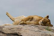 Lioness sleeping, Serengeti National Park