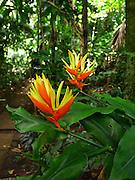 Heliconia flower, Lyon Arboretum, Manoa Valley, Honolulu, Oahu, Hawaii
