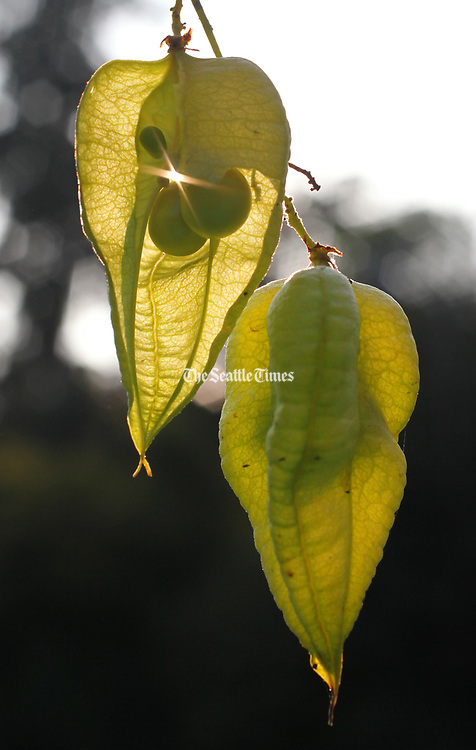 A golden rain tree is hung with shining lanterns come autumn. (Steve Ringman / The Seattle Times)