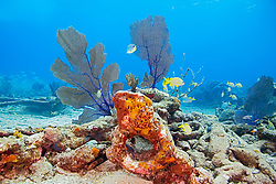Sugar Wreck, the remains of an old sailing ship that grounded many years ago, encrusted with Sponges, Sea Fans, Gorgonia sp., and Sea Rods, West End, Grand Bahamas, Caribbean, Atlantic Ocean