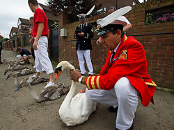 © Licensed to London News Pictures. 20/07/2015. David Barber, The Queen's Swan Marker holds a swan on the riverbank, next to five cygnets. Swan Upping takes place on the River Thames near Windsor, Berkshire, UK. The annual event dates from medieval times, when The Crown claimed ownership of all mute swans which were considered an important food source for banquets and feasts. Today, the cygnets are weighed and measured to obtain estimates of growth rates and the birds are examined for any sign of injury, commonly caused by fishing hook and line. The cygnets are ringed with individual identification numbers by The Queen's Swan Warden, whose role is scientific and non-ceremonial. The Queen's Swan Marker produces an annual report after Swan Upping detailing the number of swans, broods and cygnets counted during the week. Photo credit: Ben Cawthra/LNP