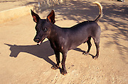PERU, NORTH COAST, LIFESTYLE indigenous dog native to Peru; a very different species from dogs brought to  the Americas from Europe