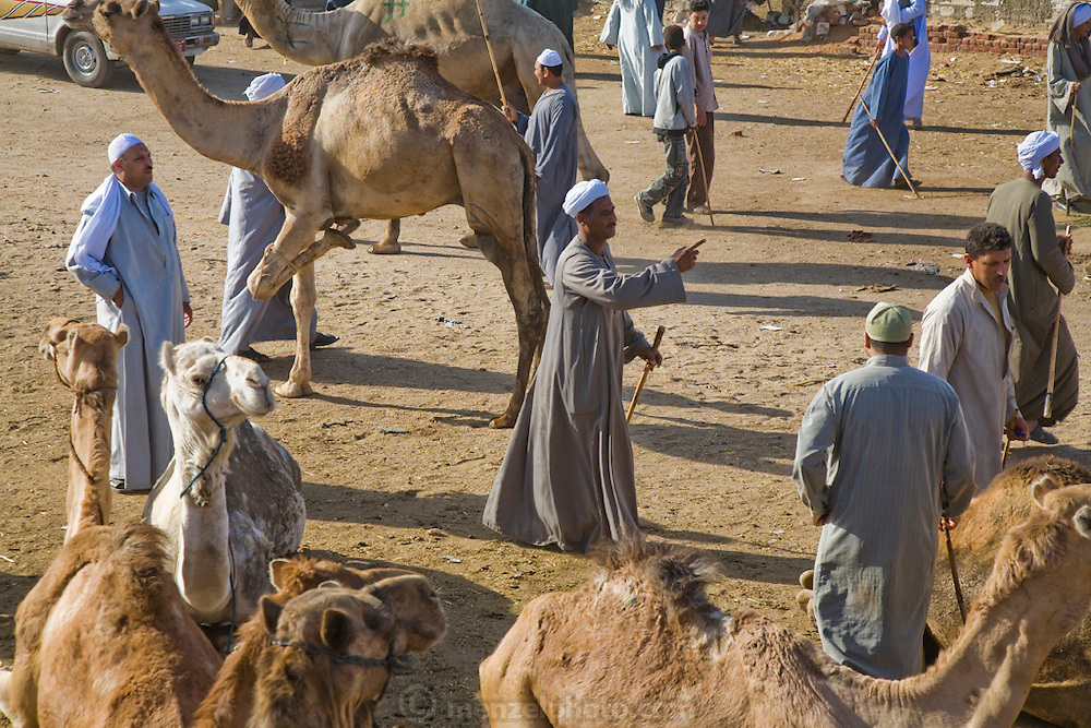 Brokers negotiate at the Birqash Camel Market outside Cairo, Egypt, where camel broker Saleh Abdul Fadlallah (center, pointing) works.  (Saleh Abdul Fadlallah is featured in the book What I Eat: Around the World in 80 Diets.) Domesticated since 2000 BC, camels are used less as beasts of burden now, and more for their meat. Because they can run up to 40 miles per hour for short bursts, dealers hobble one leg when they are unloaded at the Birqash market. They are marked with painted symbols to make them easier for buyers and sellers to identify. Both brokers and camels have a reputation for being surly, and the brokers don't hesitate to flail the camels with their long sticks to maintain their dominance..