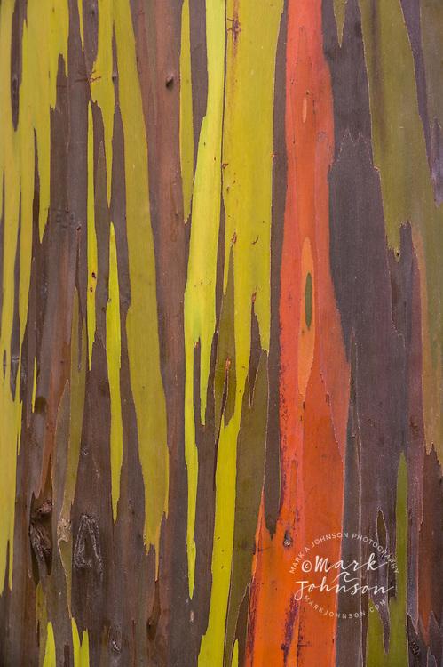 Colorful bark on eucalyptus tree