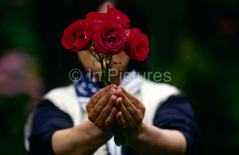 A refugee hides her identity with a rose in the gardens of the Natural Growth Project's garden therapy centre in Hampstead, London. The centre offers garden therapy for refugees who have been victims of torture and abuse in their country. London, UK.