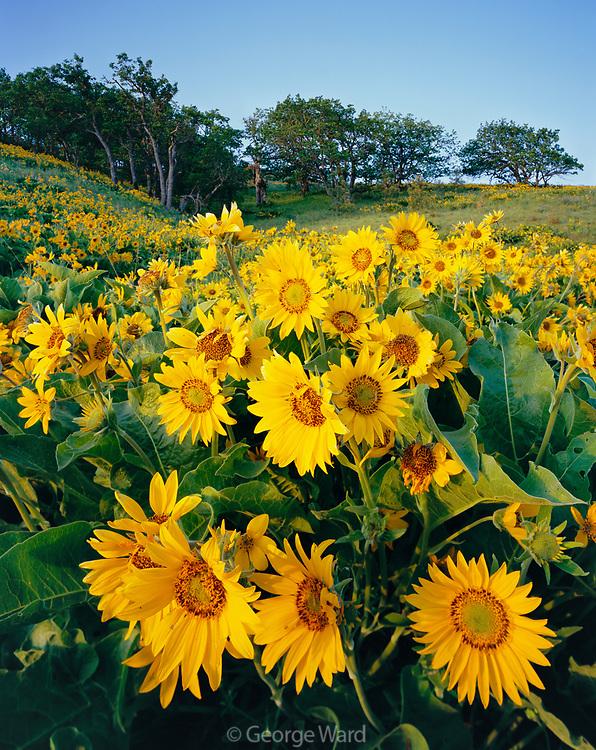 Balsamroot and Oaks at Sunrise, Tom McCall Nature Preserve, Columbia River Gorge NSA, Oregon