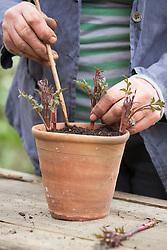 Taking basal cuttings from Dahlia 'Bishop of Llandaff'. Planting cuttings around edge of a terracotta pot