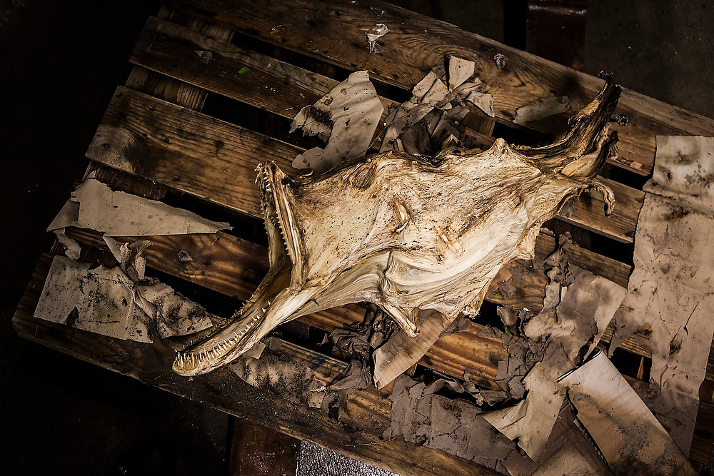 An anglerfish, caught as bycatch by the cod fisherman, dried as stockfish and on display as a curiosity in a fish factory on Vaeroy Island, Lofoten Islands, Norway.