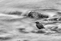 Frozen in Time (B&W): A bird that had been traversing the bottom of the river in its quest for food, kindly held still for a long exposure on the North Fork Virgin River, Zion National Park, Utah USA.