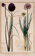 wild onion (Allium montanum) 17th century hand painted on Parchment botany study of a from the Jardin du Roi botanical Florilegium of Prince Eugene of Savoy collection, Paris c. 1670 artist: Nicolas Robert