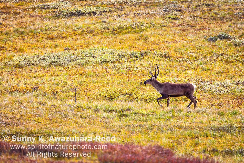 Young Caribou running across fall color tundra, Denali National Park & Preserve, Interior Alaska, Autumn.
