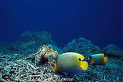 foraging hawksbill sea turtle, Eretmochelys imbricata, is attended by yellowmask, yellow-faced, or blueface angelfish, Pomacanthus xanthometepon, which feed on items disloged by the turtle, Sipidan Island, Malaysia  ( Celebes Sea )