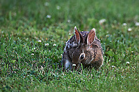Rabbit Hiding Behind Clover. Late Spring Nature in New Jersey. Image taken with a Nikon D3x and 500 mm f/4 VR lens (ISO 400, 500 mm, f/4, 1/250 sec). Raw image processed with Capture One Pro, Focus Magic, and Photoshop CS5.