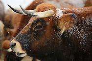 Tauros, Limia cow, Bos taurus, Tauros/Aurochs breeding site run by The Taurus Foundation, Keent Nature Reserve, The Netherlands