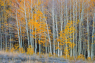 Aspen leaves changing color and clinging to branches in fall, Mono County, Eastern Sierra, California
