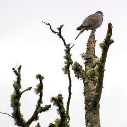 Rola-turca (Streptopelia decaocto) fotografado na Escócia, na Europa. Registro feito em 2019.<br /> ⠀<br /> ⠀<br /> <br /> <br /> <br /> <br /> ENGLISH: Eurasian Collared Dove photographed in Scotland, in Europe. Picture made in 2019.